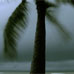 Photo: Palm tree in a storm