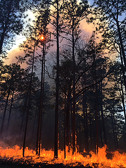 Forest fire in a longleaf pine forest