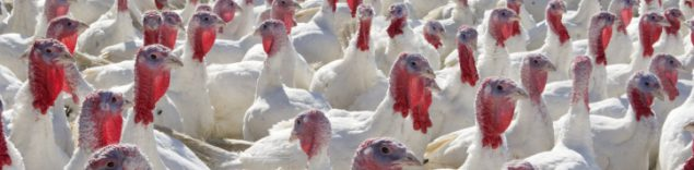 A large group of turkeys stand together outside in sunlight; their bright red snoods in contrast against the white feathers