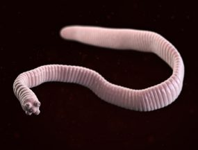 The dwarf tapeworm, Hymenolepis nana.