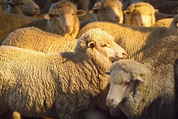 Flock of merino sheep in setting sun