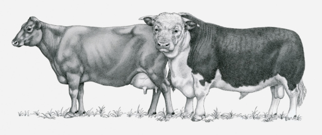 Black and white illustration of Durham cows
