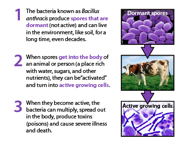 This flow chart from the CDC explains the life cycle of Bacillus anthracis inside an organism.