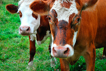 Close-up of a pair of cows looking at the camera in a pasture of grass.
