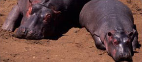 sick hippos in Zambia laying in the soil