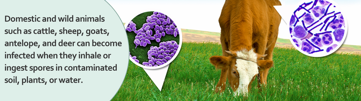 Slideshow image 2: Domestic and wild animals such as cattle, sheep, goats, antelope, and deer can become infected when they inhale or ingest spores in contaminated soil, plants, or water.