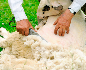 sheep bearing sheared for it's wool