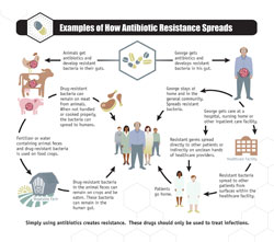 Examples of how antibiotic resistance spreads. Animals get antibiotics and develop resistant bacteria in their guts. George gets antibiotics and develops resistant bacteria in his gut.