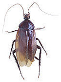 A picture of a cockroach.