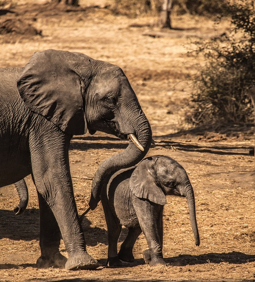 picture of an adult and a baby elephant