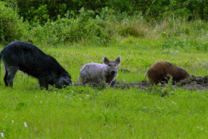 image of wild hogs