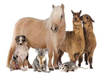 Image of dog, horse, alpacas, koala bear, and opposum.