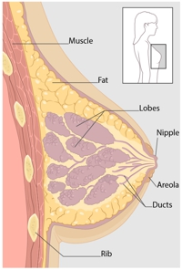 A diagram of the cross-section view of the breast, showing the parts of the breast.