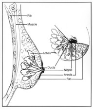 This diagram shows the parts of the breast and the chest wall.