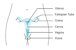 Medical illustration of a woman's reproductive system