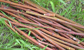 Red willow used to make sacred, traditional tobacco for ceremonial use.