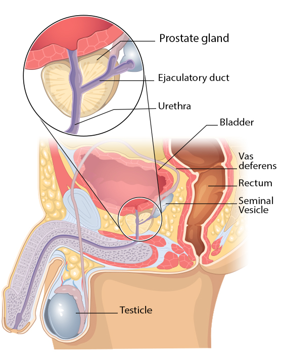 diagram of the prostate