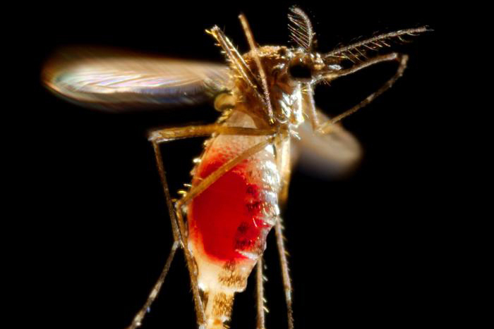A female Aedes aegypti mosquito as she takes flight