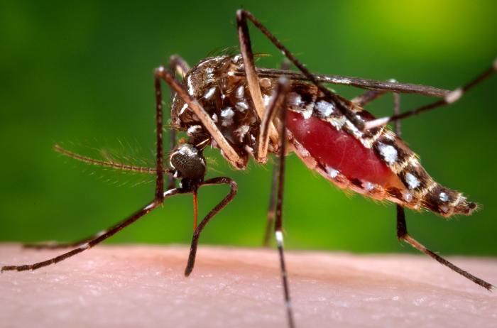 A female Aedes aegypti mosquito while she in the process of acquiring a blood meal from her human host