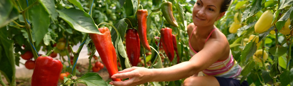 woman picking peppers from garden