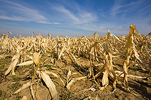 Devastated corn field:  Food security