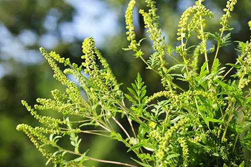 Ragweed is one of the highest pollen polluters. One plant can produce a billion grains of pollen each season. Ragweed is the primary contributor to fall season allergies.