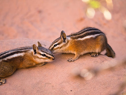 Two chipmunks kissing