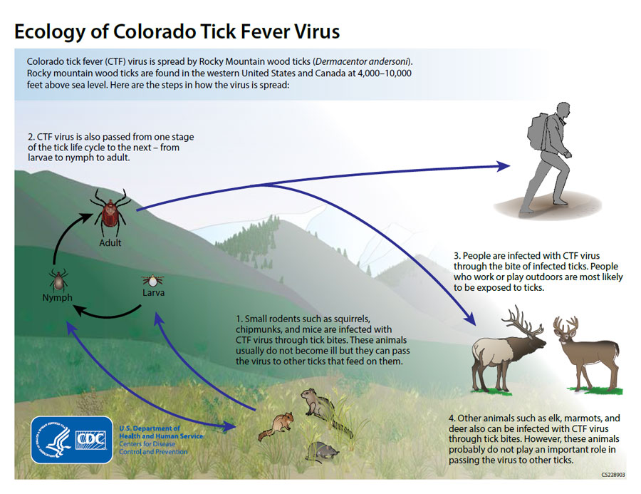 Ecology of Colorado Tick Fever Virus - 1. Small rodents such as squirrels, chipmunks, and mice are infected with CTF virus through tick bites.  These animals usually do not become ill but they can pass the virus to other ticks that feed on them.  2. CTF virus is also passed from one stage of the tick life cycle to the next - from larvae to nymph to adult.  3. People are infected with CTF virus through the bite of infected ticks.  People who work or play outdoors are most likely to be exposed to ticks.  4. Other animals such as elk, marmots, and deer also can be infected with CTF virus through tick bites.  However, these animals probably do not play an important role in passing the virus to other ticks.