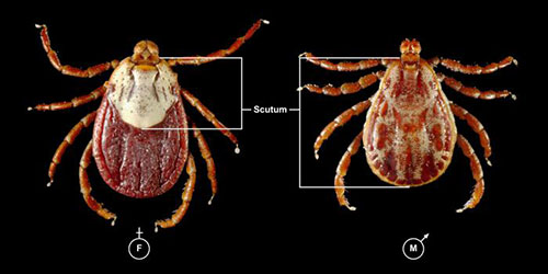Image of a male and female rocky mountain wood tick