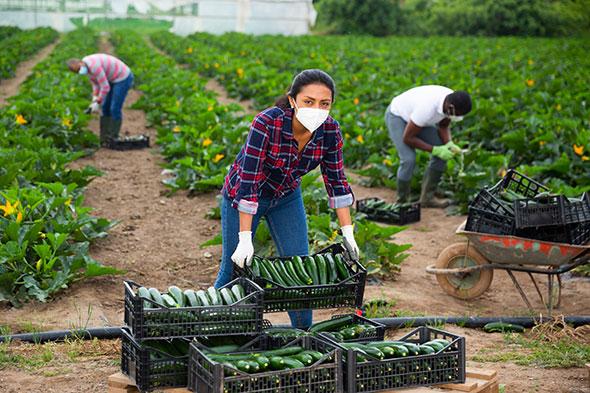 农场工人收割新鲜庄稼