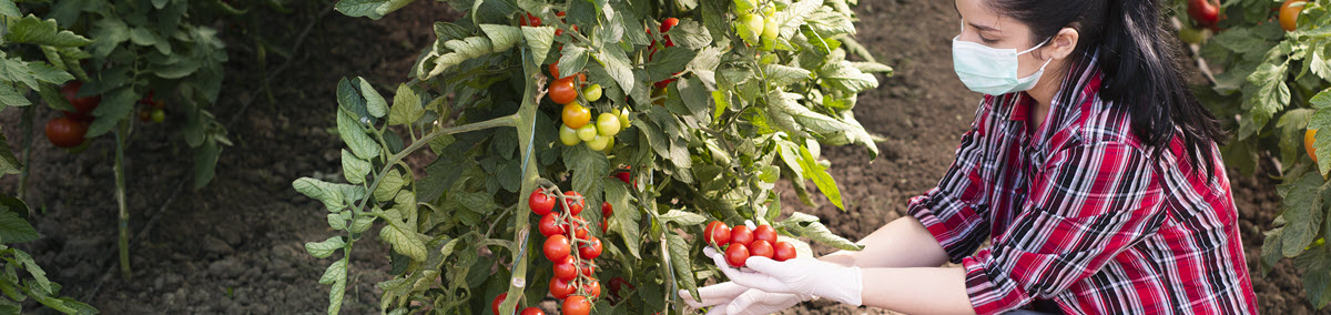 Mujer con mascarilla arrodillada cosechando tomates