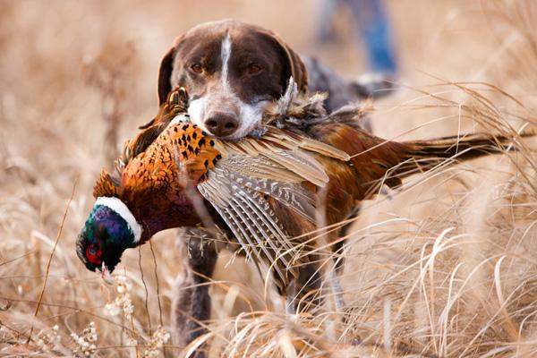 Chó săn chim lông ngắn giống Đức và con gà lôi