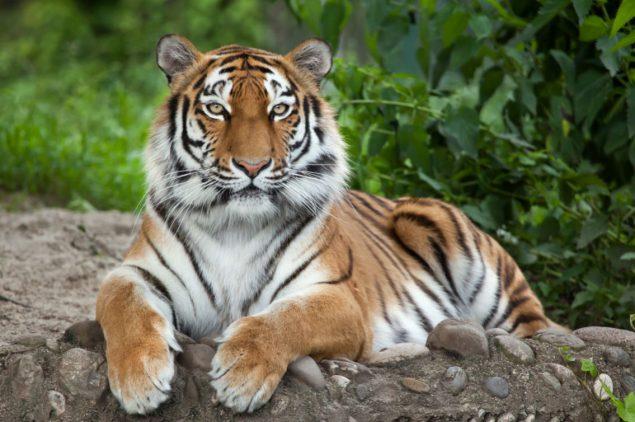 hình ảnh một con hổ nằm trên mặt đất với cây cối ở phía sau