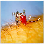 Aedes aegypti Adult Mosquito taking a blood meal