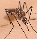The bite of the female Aedes aegypti mosquito can transmit the virus that causes Dengue fever to humans