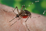 Aedes aegypti Adult Mosquito