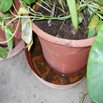 standing water in a plant tray