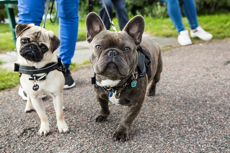 People walking with a pug and French bulldog