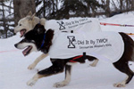 Race dogs with shirts promoting immunization during the ceremonial beginning of the Iditarod race.