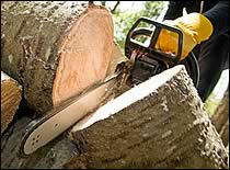 Gasoline-Powered Chainsaw Cutting the Trunk of a Large Fallen Tree