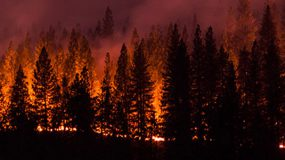 a picture of a stand of tall trees engulfed in flames