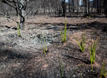 Photo of a forest landscape that has been burned by wildfire.