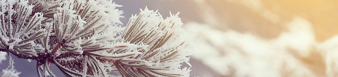 Frozen snow covers the needles of an evergreen tree
