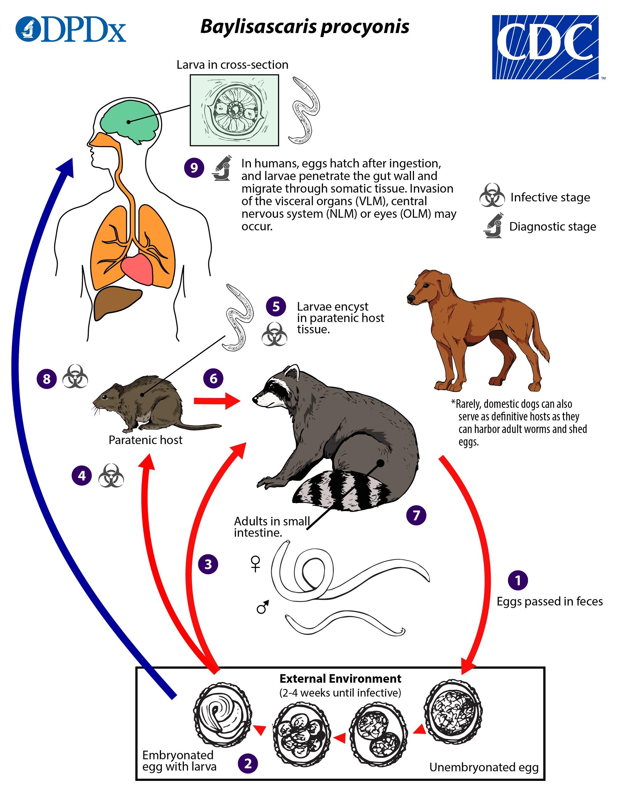CDC - Baylisascaris - Biology