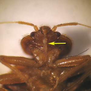 Figure E: Higher magnification of the specimen in Figure D, showing a close-up of the typical hemipteran piercing-sucking mouthparts (arrow).