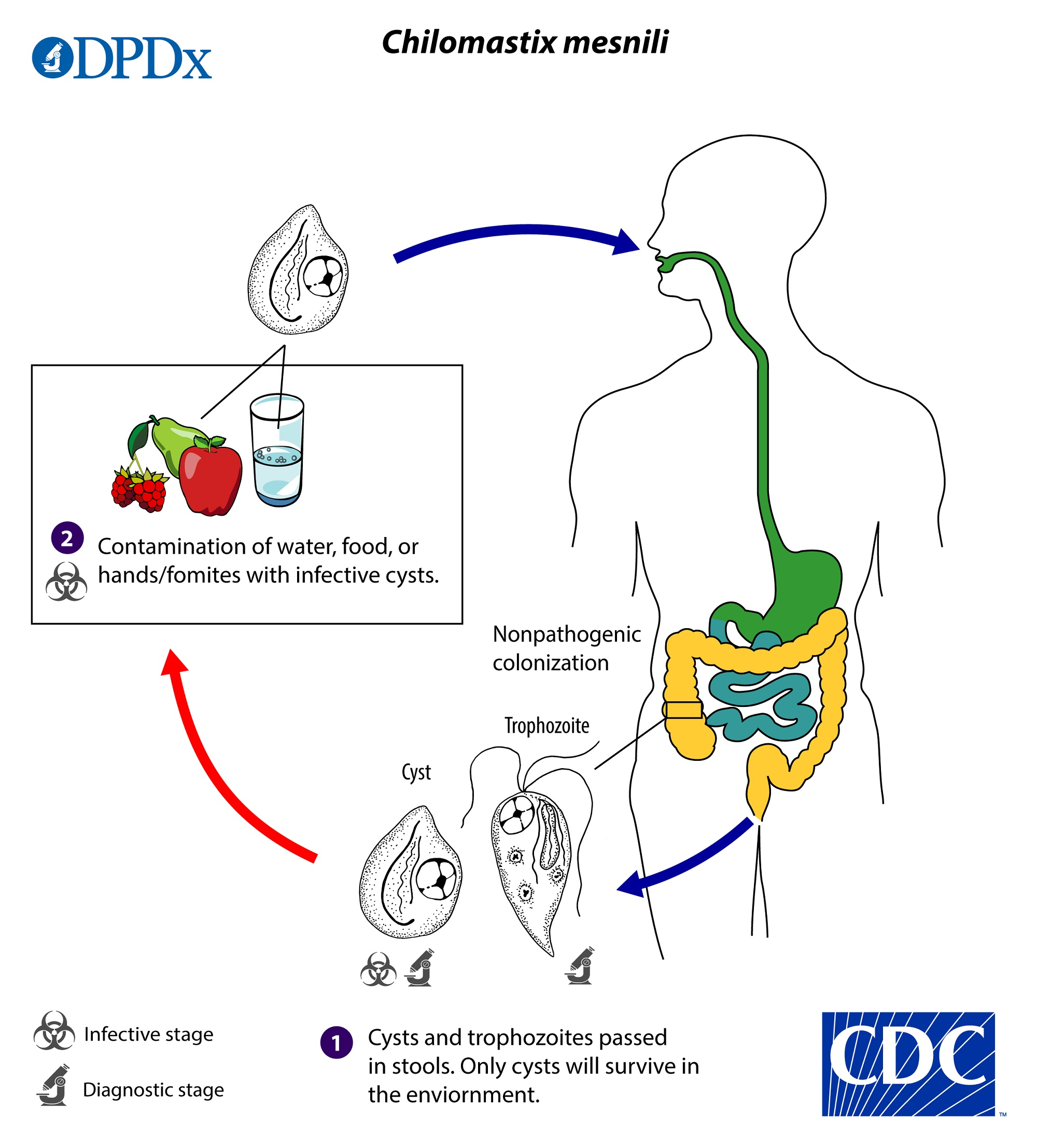 CDC - DPDx - Chilomastix mesnili