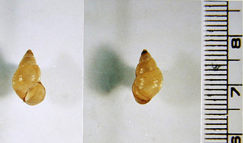 Figure A: Shells of <em>Parafossarulus manchouricus</em>, the most common snail host of <em>C. sinensis</em> in endemic areas in southeast Asia. Image courtesy of the Web Atlas of Medical Parasitology and the Korean Society for Parasitology.