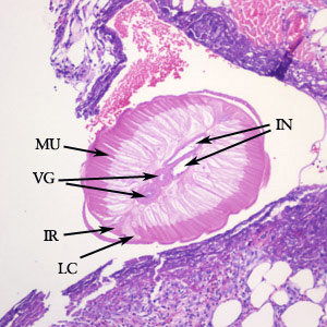Figure A: Cross-section of <em>Dirofilaria</em> sp. from a subcutaneous nodule, stained with hematoxylin and eosin (H&E). Morphologic features visible in this image include tall, prominent muscle cells (MU), coiled vagina (VG), coiled intestine (IN), lateral chords (LC), and prominent internal lateral ridges (IR). Image courtesy of Drs. Dirk Elston and Paul Bourbeau.