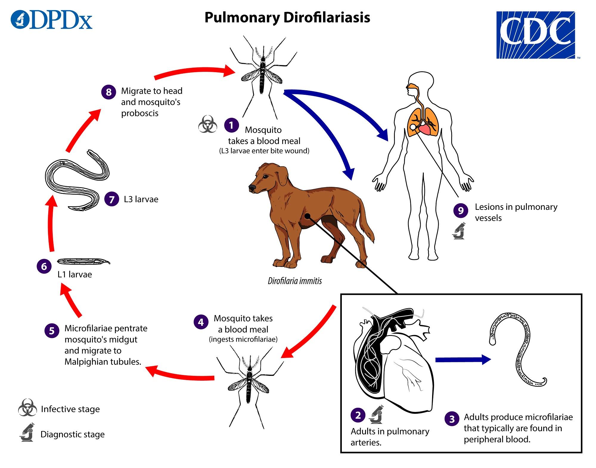 A dirofilariasis immitis az egyik helminthiasis, Mit hívnak a férgek