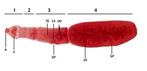 Pinworm lamblia. Fotó férgek, kerek férgek, lamblia, pinworms - Ciszták pinworms